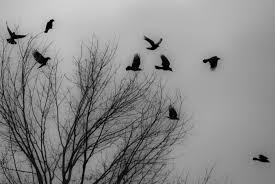 raven flock